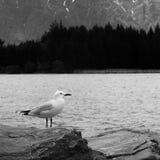 Seagull och laken Arkivbild
