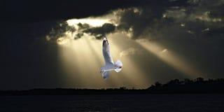 Seagull och solstrålar i havsolnedgång Royaltyfri Bild