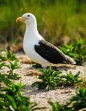 Seagull ochrania swój murawę Fotografia Stock