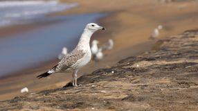 Seagull od ind obraz stock