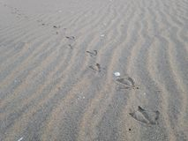 Seagull odciski stopy na piasku Obraz Royalty Free