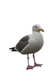 Seagull odizolowywający na bielu Obrazy Stock