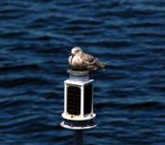 Seagull Odpoczywać Obrazy Royalty Free