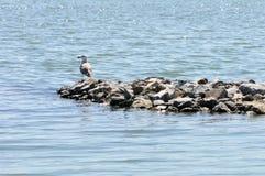 Seagull Odpoczywać Obraz Royalty Free