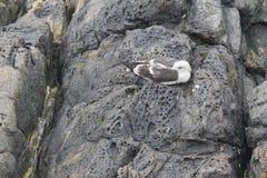 Seagull Odpoczywać Zdjęcia Royalty Free