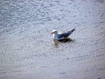 Seagull Odpoczywać Zdjęcie Stock