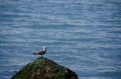 Seagull odpoczywa na arock w Waszyngton parku Obraz Royalty Free