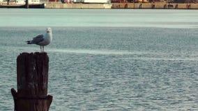 Seagull odpoczywa na drewnianym filarze przy Kiel kanałem, Niemcy zbiory