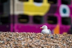Seagull Odpoczywa Na Pebbled plaży fotografia royalty free
