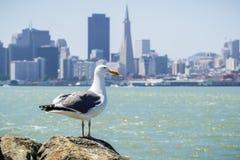 Seagull odpoczywa na skale na linii brzegowej skarb wyspa, San Francisco śródmieście w tle, Kalifornia zdjęcia stock