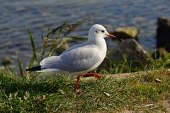 Seagull odprowadzenie Obraz Stock