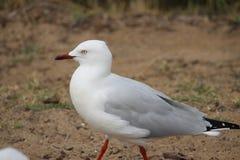 Seagull odprowadzenie na brzeg fotografia stock
