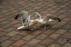 Seagull odprowadzenie na ceglanym chodniczku w chmurnym dniu przy Haga Zdjęcia Stock