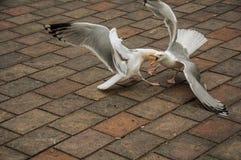 Seagull odprowadzenie na ceglanym chodniczku w chmurnym dniu przy Haga Zdjęcie Stock