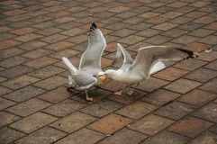 Seagull odprowadzenie na ceglanym chodniczku w chmurnym dniu przy Haga Zdjęcia Royalty Free