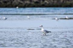 Seagull odprowadzenie na plaży Zdjęcie Royalty Free