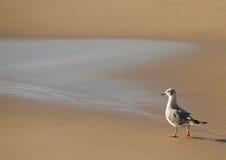 Seagull odprowadzenie na plaży Obrazy Royalty Free