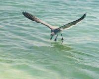 Seagull odprowadzenie na wodzie Zdjęcie Stock