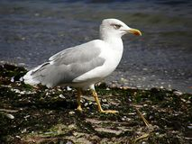 Seagull odprowadzenie w czarnym morzu zdjęcia stock