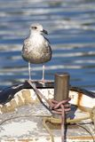 Seagull on an old fishing boat royalty free stock photos