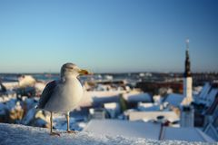 Seagull on the old town background. Tallinn. Estonia. Tallinn is the capital and largest city of Estonia; the Old Town is one of the best preserved medieval royalty free stock photos