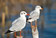 Seagull on Old Wooden Pillar Royalty Free Stock Image