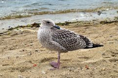 A seagull om the seashore with its head turned back Royalty Free Stock Photography