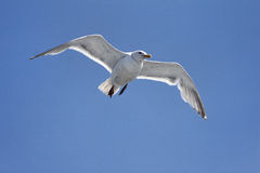Free Seagull On A Blue Sky Royalty Free Stock Images - 11924159