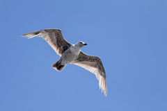 Free Seagull On A Blue Sky Royalty Free Stock Image - 12262746