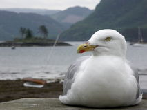 Free Seagull On A Sea Wall Royalty Free Stock Photo - 874245