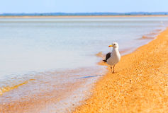 Free Seagull On Beach Stock Images - 11261584
