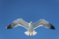 Seagull On Blue Sky Royalty Free Stock Images