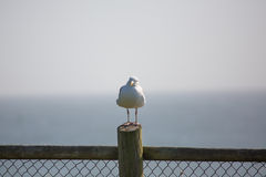 Free Seagull On Fence Post Royalty Free Stock Image - 42603586