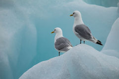 Free Seagull On Ice In Arctic Royalty Free Stock Photos - 80653158