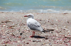 Free Seagull On The Beach Royalty Free Stock Photo - 44492445