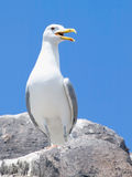 Seagull On The Rock Royalty Free Stock Photos