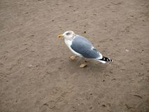 Seagull ona plaża obraz stock
