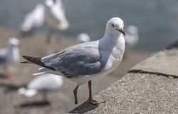 Seagull with only one foot royalty free stock photography