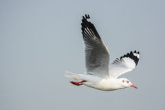 Seagull. One of lovely white seabirds stock photography