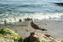 Seagull on an oozy stone sea in the background Royalty Free Stock Photo