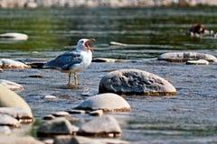 Seagull with open beak Stock Photo