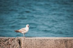 Seagull with open beak sits on the shore royalty free stock photography