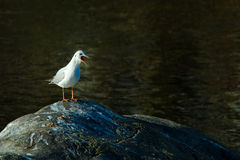 Seagull with open beak Stock Image