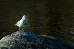 Seagull with open beak Stock Image