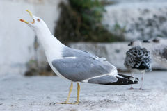 Seagull with open mouth Stock Photo