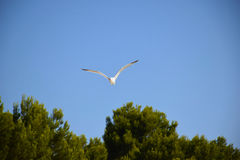 Seagull with open wings Stock Images