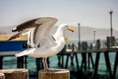 Seagull with open wings. A seagull with open wings preparing to fly Royalty Free Stock Images