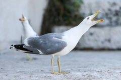 Seagull opening mouth Stock Images