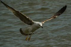 Seagull with opet Wings Royalty Free Stock Photography