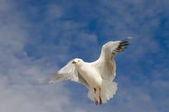 Seagull łopotanie zdjęcia stock